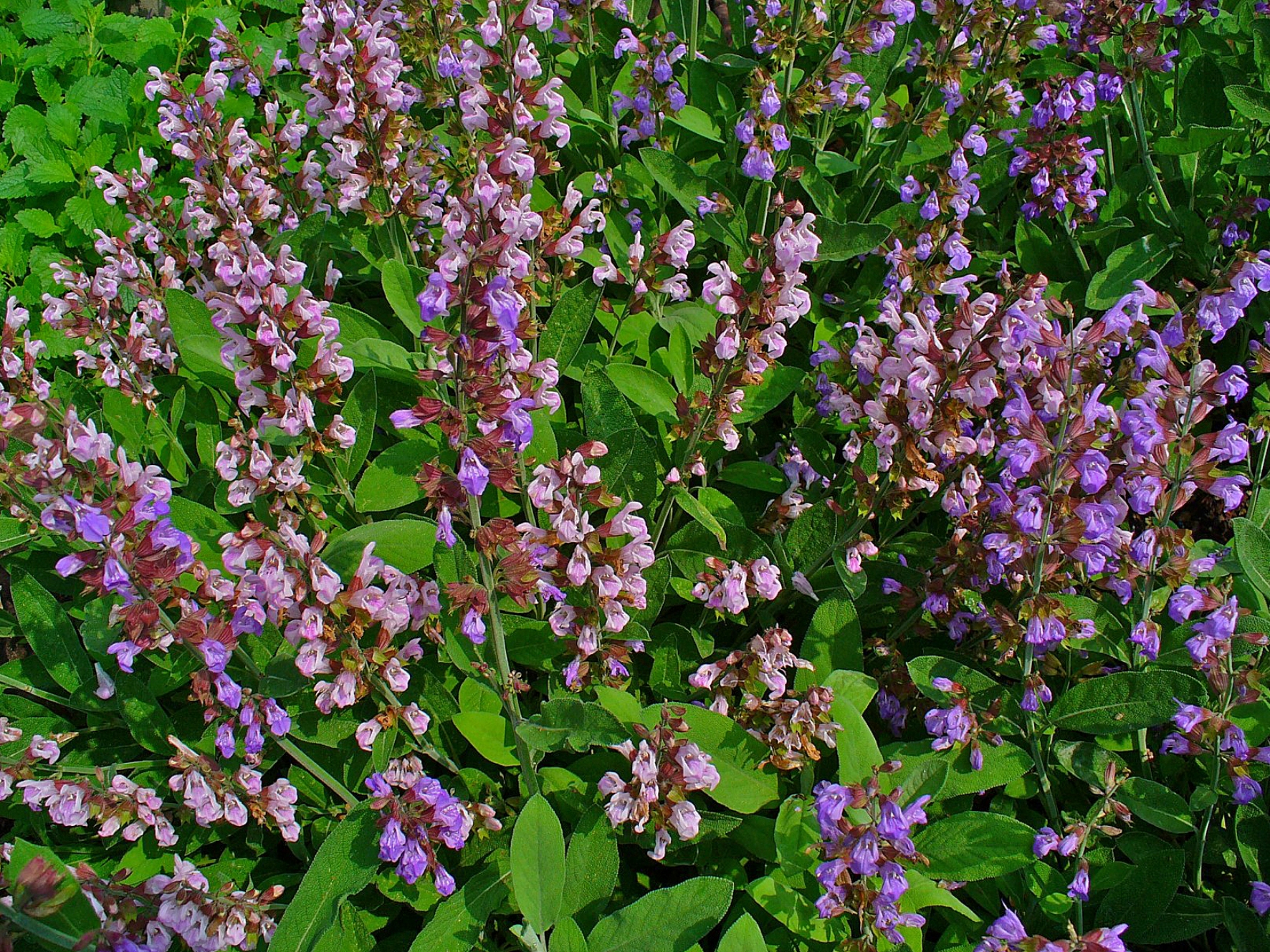 Salvia-officinalis